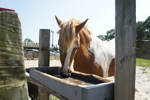 Chincoteague Pony at Refuge Inn