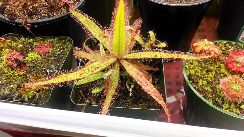 Drosera adelae and offsets.