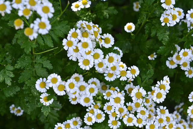 Tanacetum parthenium (feverfew) in the Herb Garden. Photo by Morrigan McCarthy.