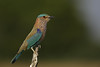 Indian Roller at Tal Chhapar