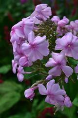 PHLOX paniculata 'Bosvigo Pink'