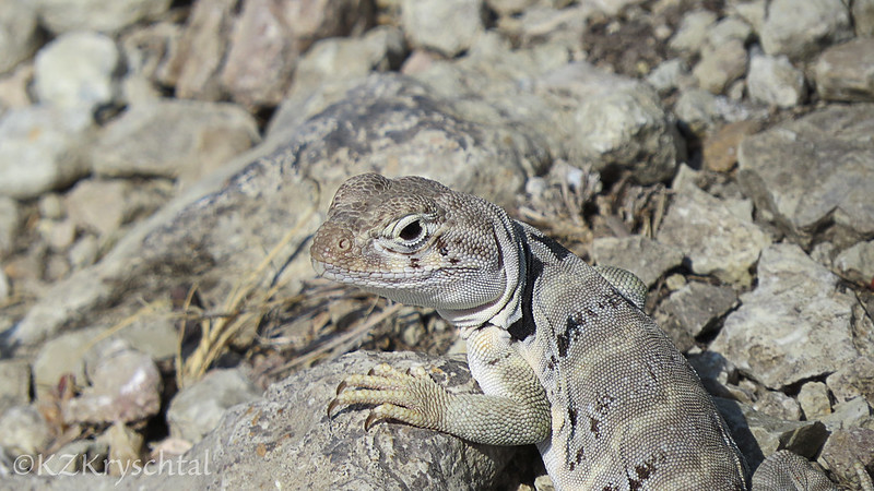 IMG_1029CollaredLizard