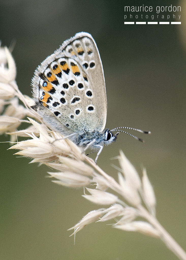 silver-studded-blue-1261