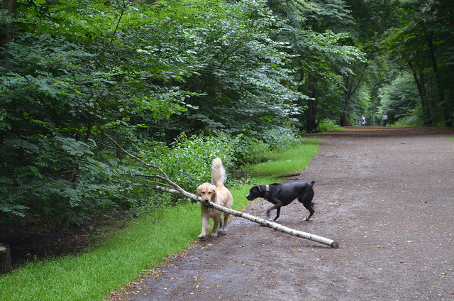 Grunewald Berlin_ dog with tree branch and confused Bailey