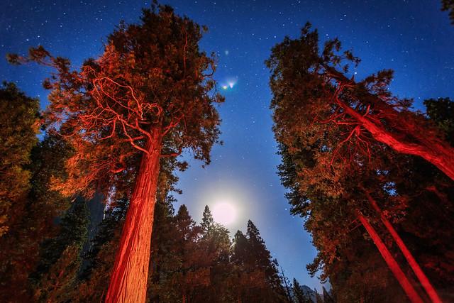 Trees Under a Yosemite Moon