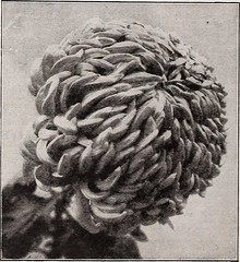 """Image from page 103 of """"Vick's garden & floral guide : spring edition"""" (1922)"""