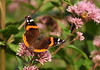 Red Admiral On Joe-Pye Weed