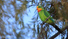 Superb Parrot - Polytelis swainsonii