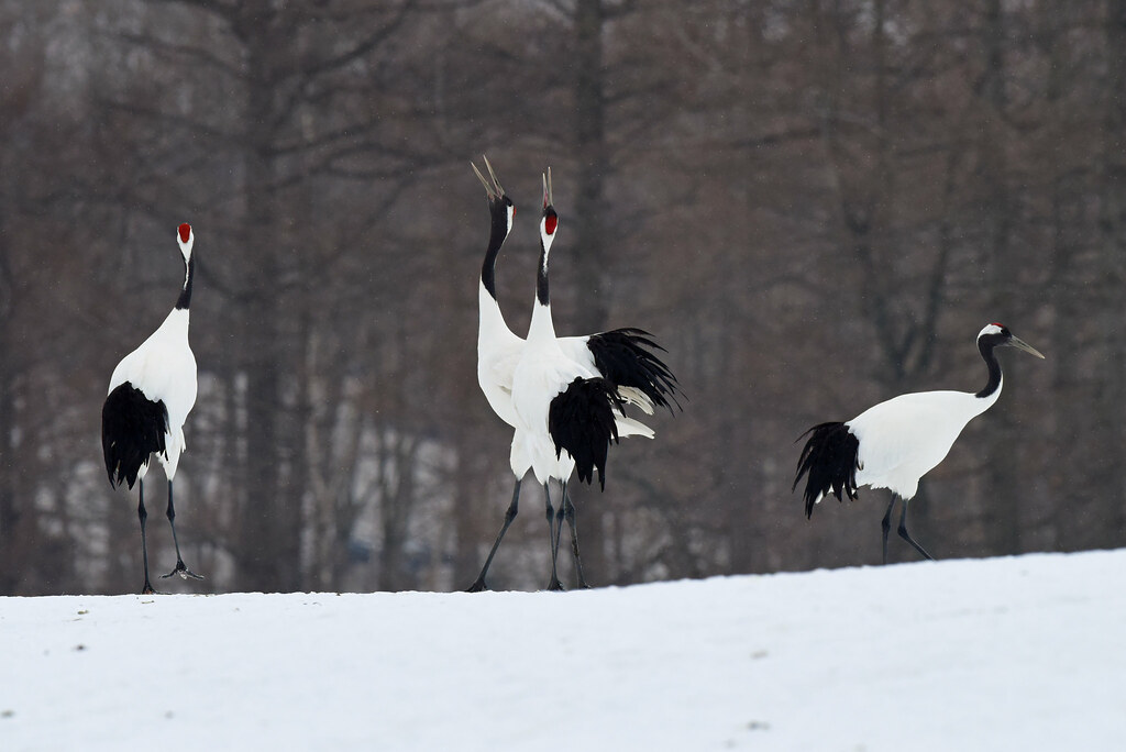 A couple of red-crowned cranes: unison calling in snow