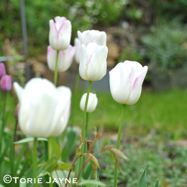 Tulip Gwen 5