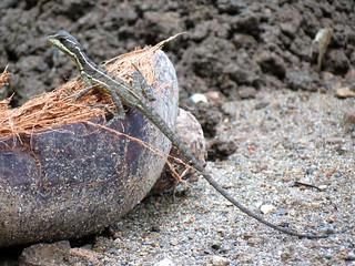 Coconut Basilisk