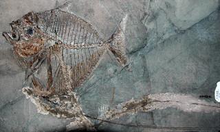 Mene rhombea (fossil fish) (Middle Eocene; Italy) 6