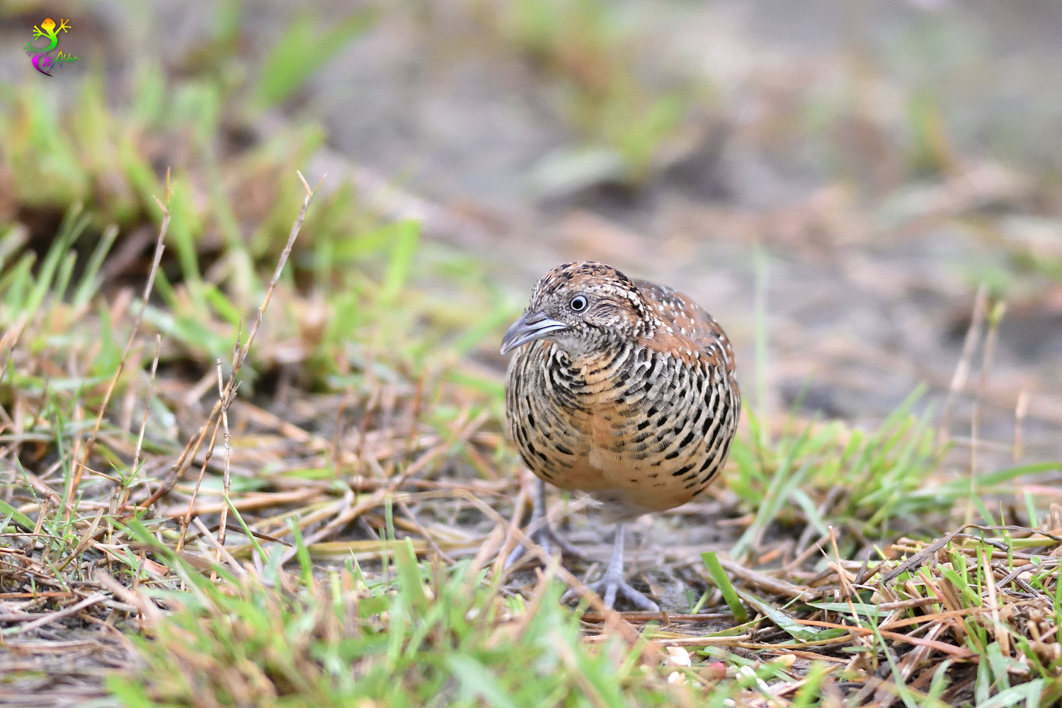 Barred_Buttonquail_9024