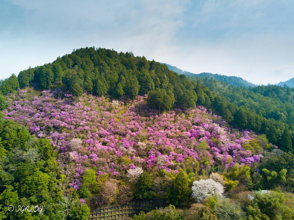 槙尾山のミツバツツジ全景