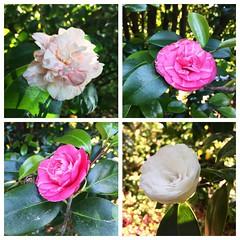 """Siendo un adolescente leí en unas vacaciones la novela de Alejandro Dumas hijo, """"La dama de las camelias"""". Siempre que recorro el jardín de mi madre disfrutando de la variedad de #jazmin #rosas #glicinios y #camelias me acuerdo de aquella historia. Hoy aú"""