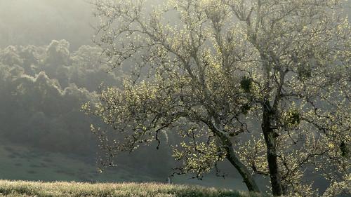 Sycamore at Dawn