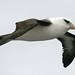 Campbell Black-Browed Mollymawk Albatross Subantarctic New Zealand UNESCO World Heritage Status Nature Reserve