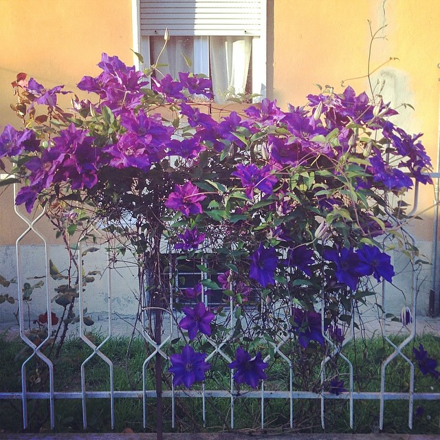 Clematidi #flower #stagioni #spung #primavera
