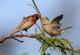 Carpodacus mexicanus ♂ ♀ (House Finch)