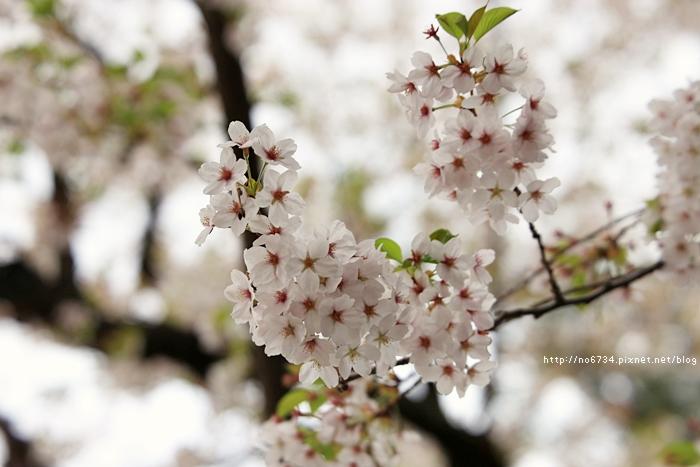 20140502_AomoriSakura_1237 ff