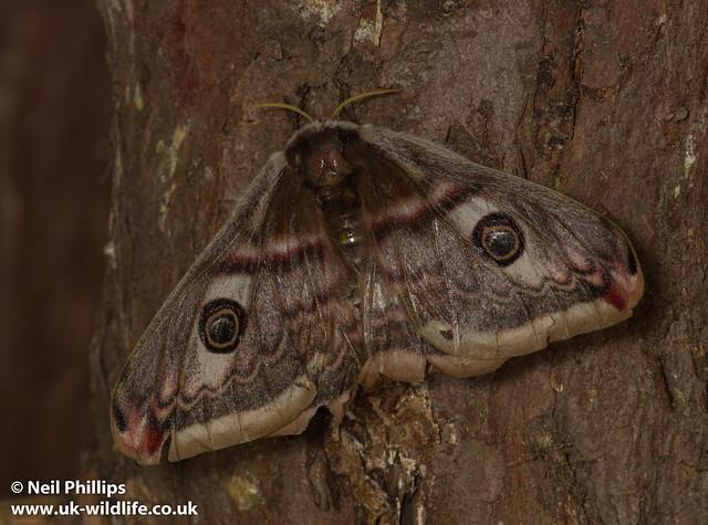 female emperor moth-3