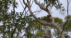 Koala in Crowdy Bay National Park.