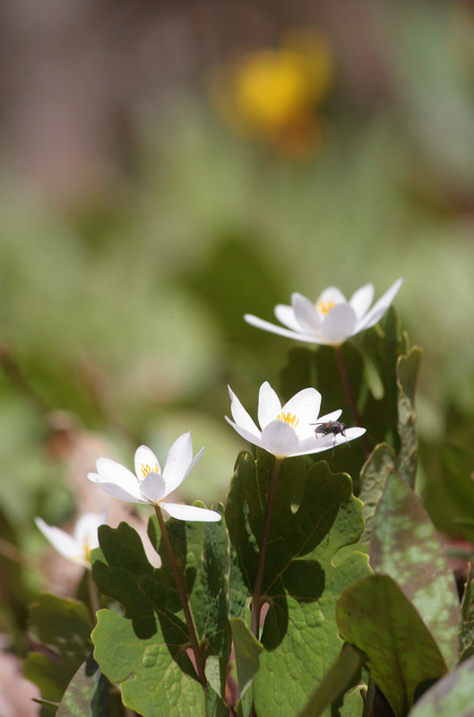 Bloodroot In Spring