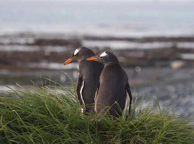 Gentoo penguins on Macquarie Island .