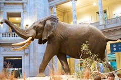 indian elephant, elephant, elephants and mammoths,