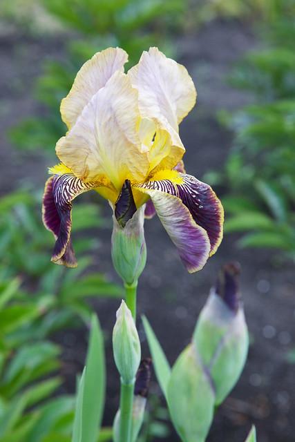 iris. Lviv botanic garden. Ukraine