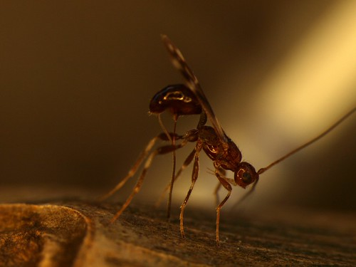 Photo of S. galinae by Jian Duan, Research Entomologist, USDA ARS Beneficial Insects Introduction Research Unit