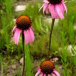 Echinacea-angustifolia