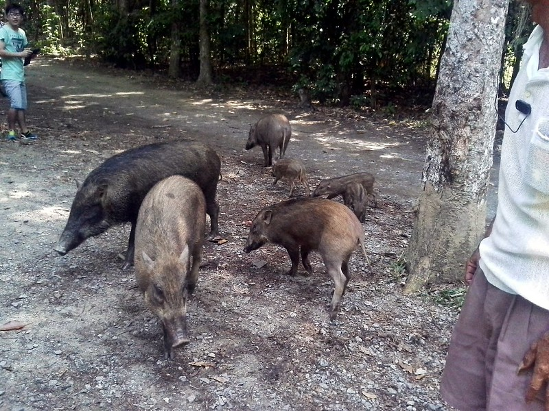 A family of 7 wild boars