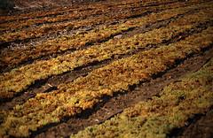 175Zypern Wein