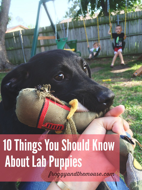 10 Things You Should Know About Lab Puppies.jpg