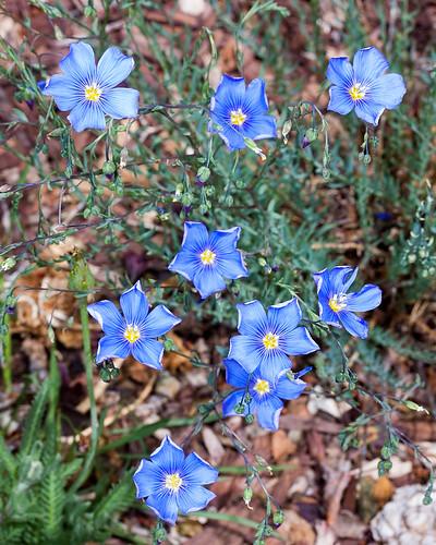 365/2: 132. Blue flax.