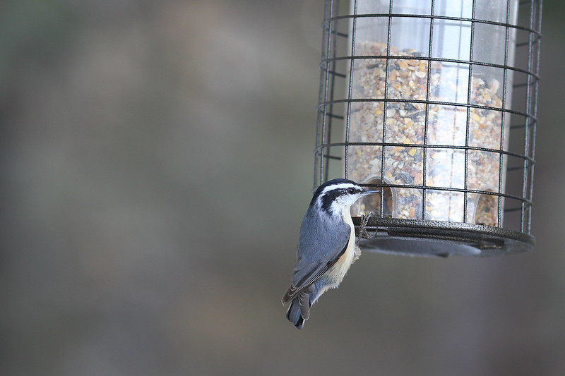 red breasted nutchatch4