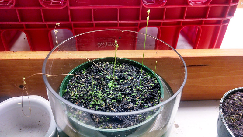 Utricularia livida ready to bloom.