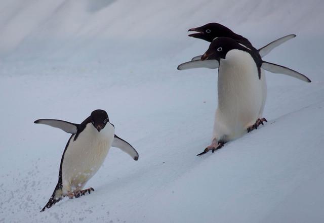 Adelie penguins sliding down iceberg