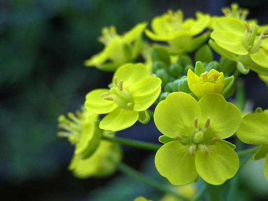 Brassica chinensis
