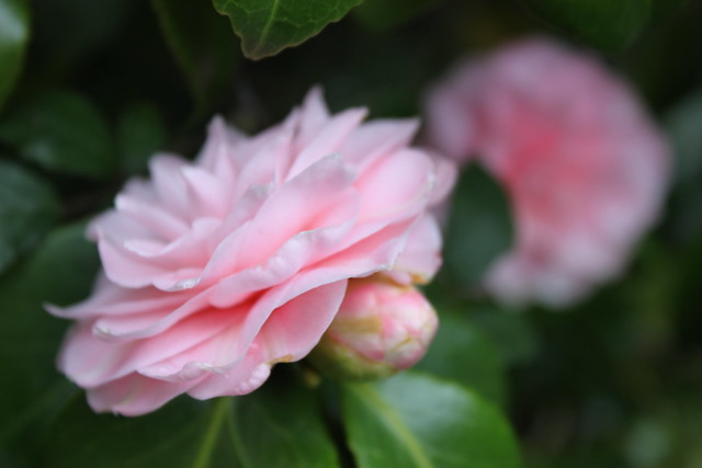 20140405_2977-pink-camellia