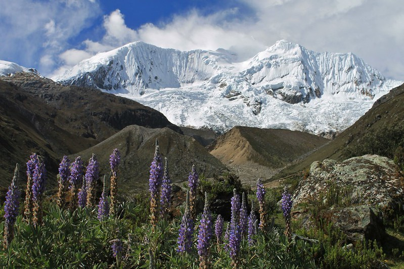 Lupins and Palcaraju (6200m)