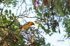 Orioles, Meadowlarks, Blackbirds, Grackles