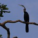 Small photo of African darter