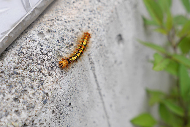 かわいい毛虫