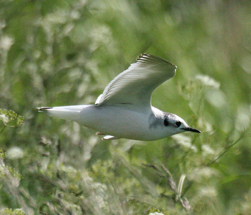 Little Gull Hydrocoloeus minutus Tophill Low NR, East Yorkshire May 2014
