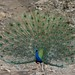 Ranthambhore peacocks-4