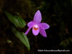 Hasselt's Orchid (Dendrobium hasseltii) P1030881