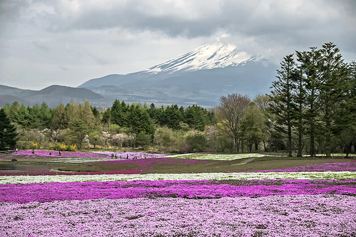 Shibazakura & Mt Fuji