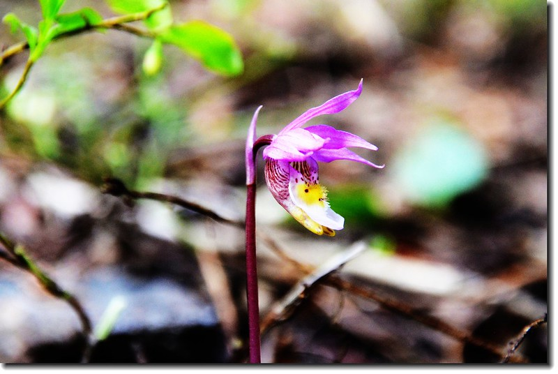 Fairy slipper 1